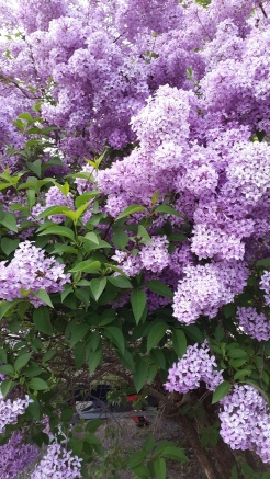 Syringa finally blooming!