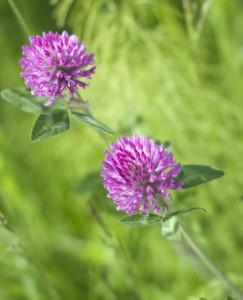 Rødkløver - Trifolium pratense